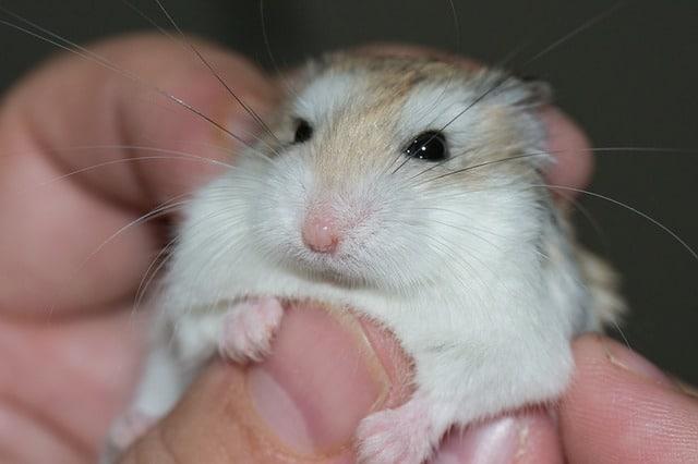 Do Hamsters Like Being Held?