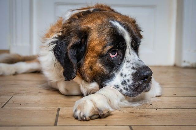 sad St Bernard dog