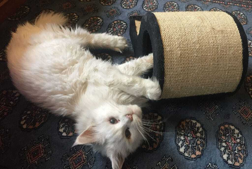 What Is The Temperament of the Maine Coon Cat? Maine Coon and scratching toy
