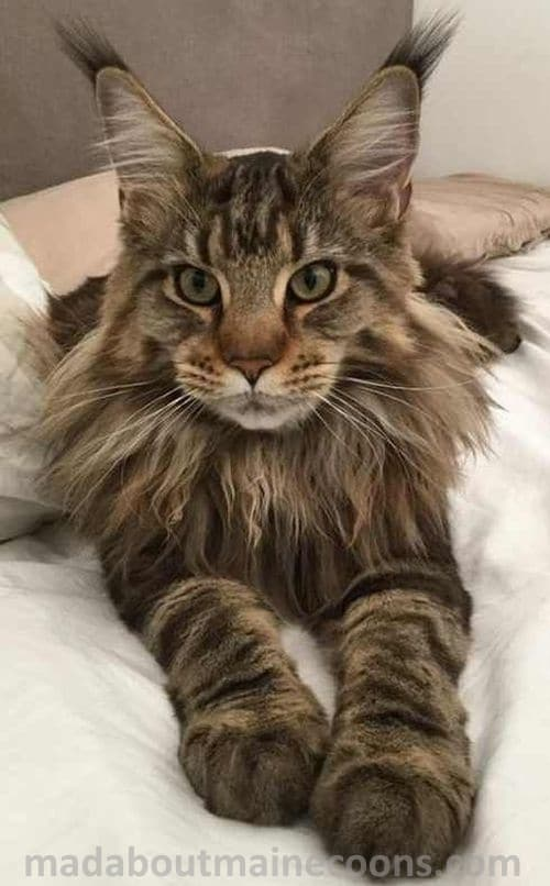 Brown and Black Mackerel Tabby Maine Coon