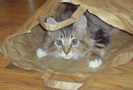 Maine Coon Kitten in a paper bag