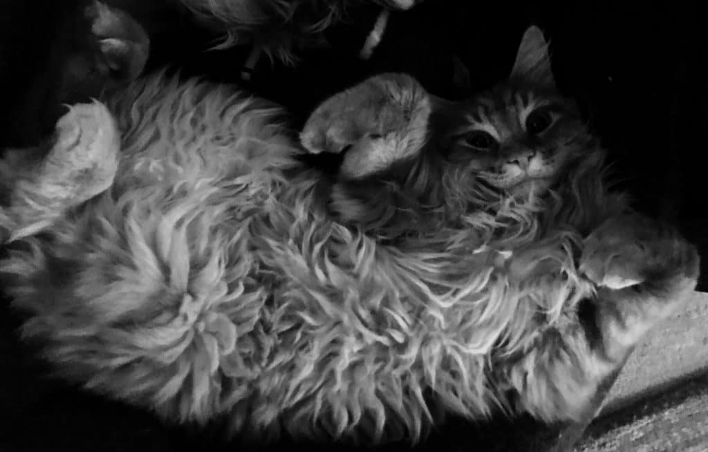 How do Maine Coons show affection? • The Pets KB