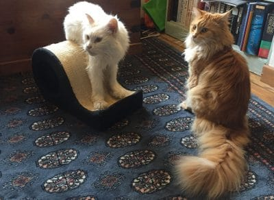 Things You Should Know Before Buying a Maine Coon
