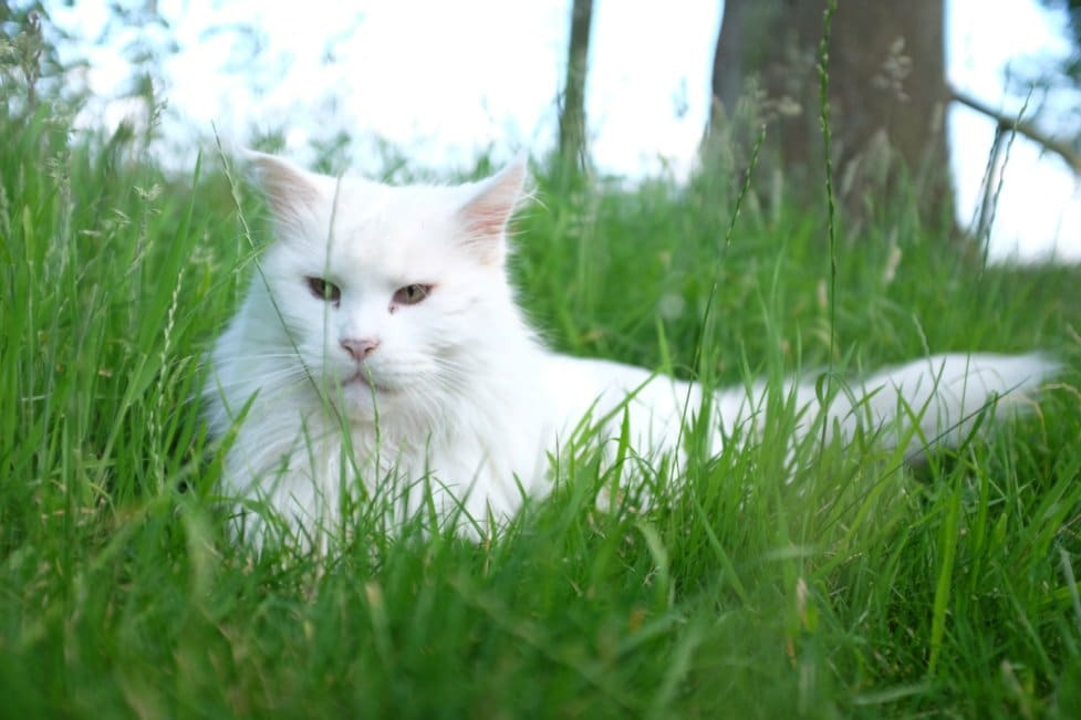 White Maine Coon in grass