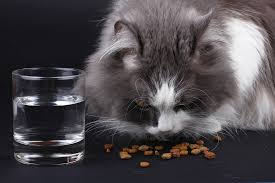 What to feed a Maine coon