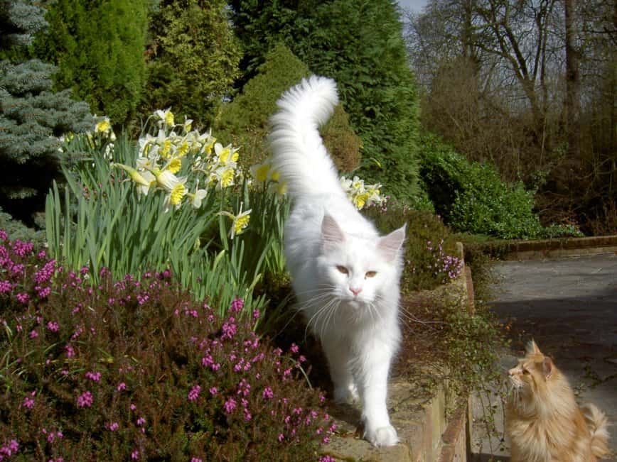 White Maine Coon Cats: 9 interesting facts
