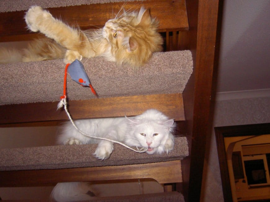 Cats playing on stairs