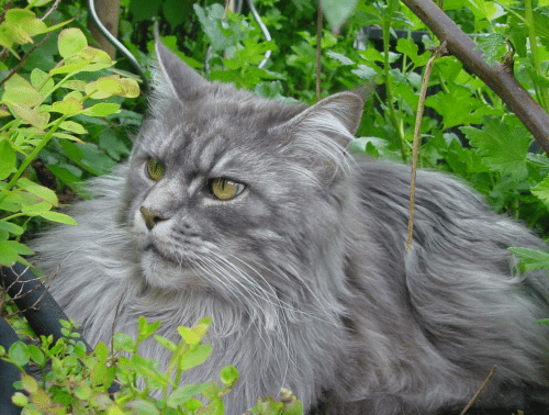 What is a Maine Coon?