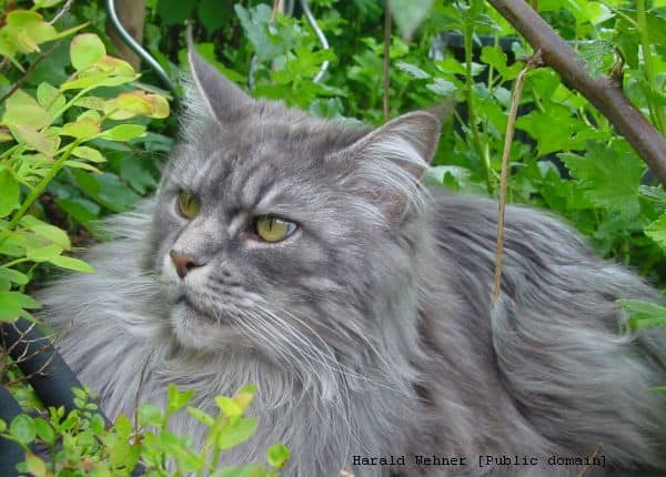 What Colors Do Maine Coon Cats Come In