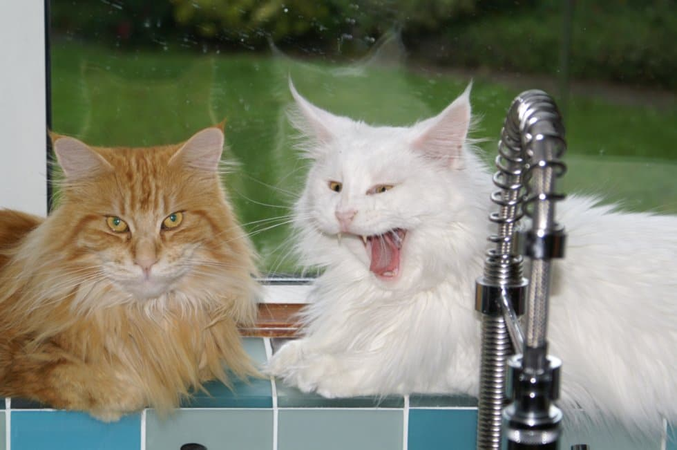 Two Maine Coons on a window ledge