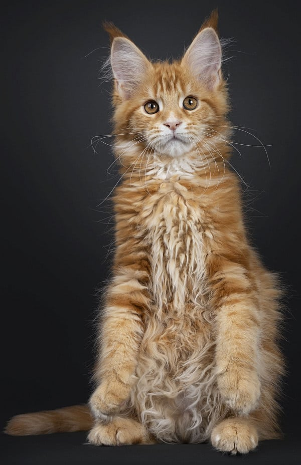 What is it like to own a Maine Coon cat?