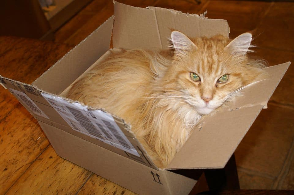 Red Maine Coon in a box