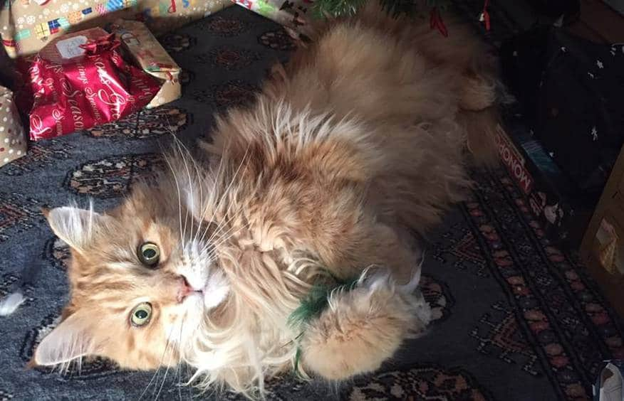 Red Maine Coon with catnip