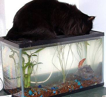 Maine Coon on fish tank