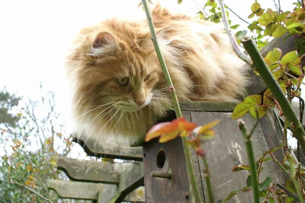 Red Maine Coon on a bird box