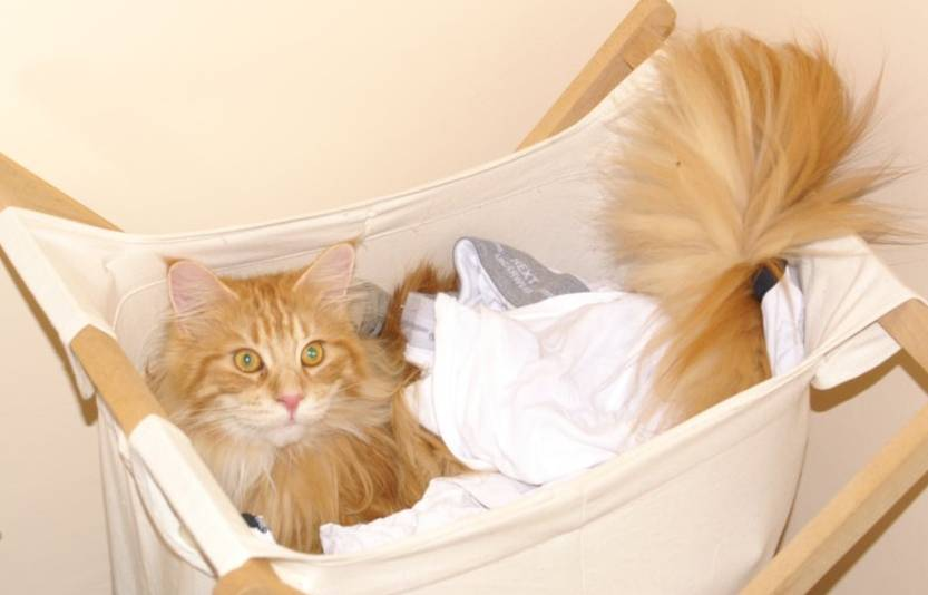 Cat in laundry basket