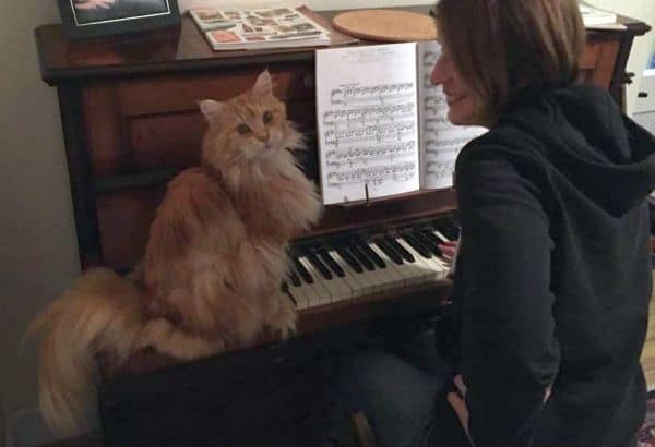 Red Maine Coon on a piano keyboard