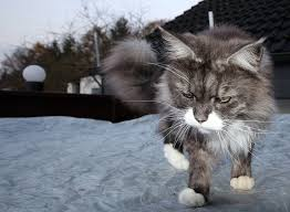 top 44 things that Maine Coons do
