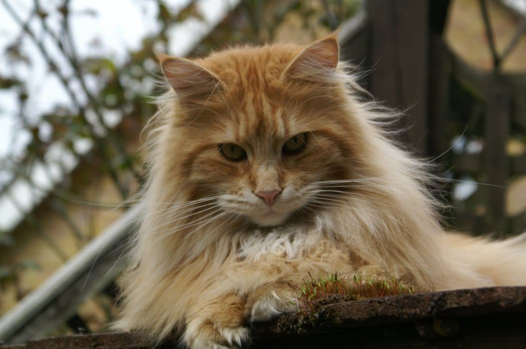 Interesting Facts About Maine Coons