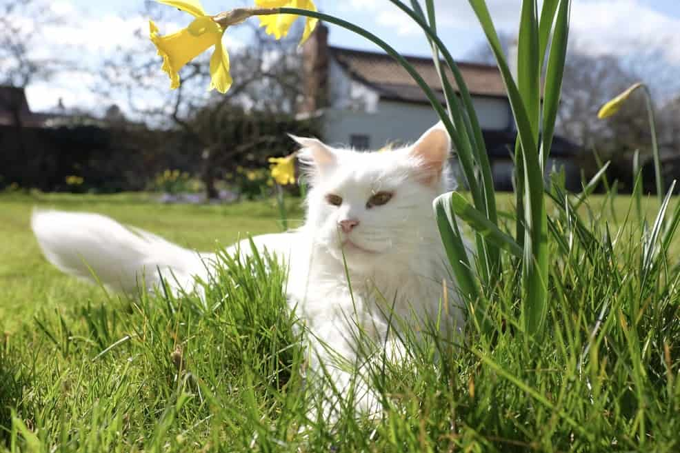 White Maine Coon outside