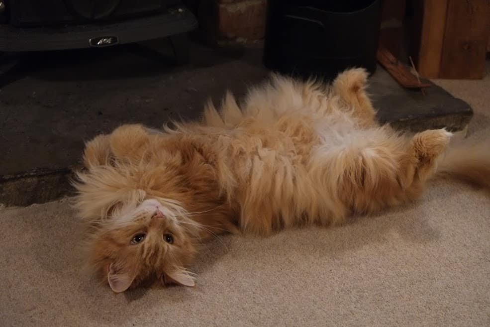 Maine Coon belly up