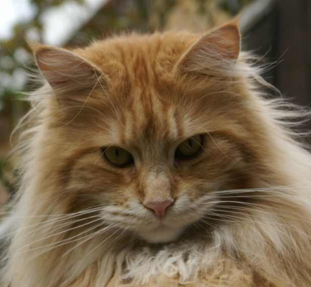 The Ultimate Maine Coon Horoscope
