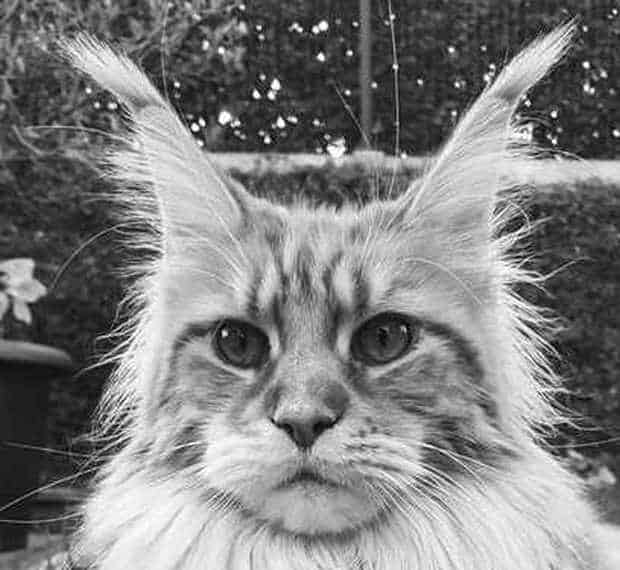 Maine Coon ear tufts.