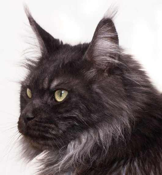 Do Maine Coons always have ear tufts