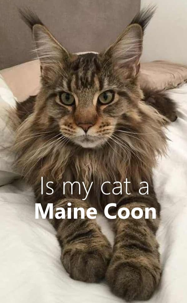 Is my cat a Maine Coon?