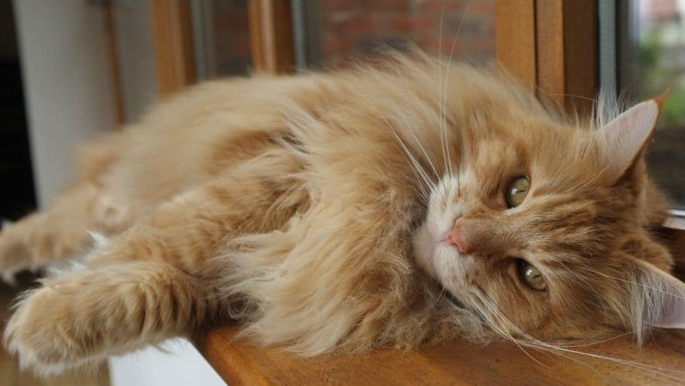 Do Maine Coons Purr? • The Pets KB