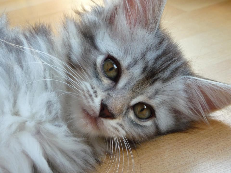 Can Maine Coon Kittens be left alone