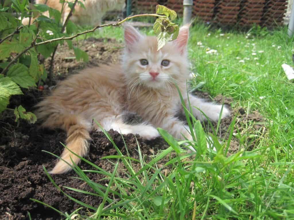 Top 20 Maine Coon names