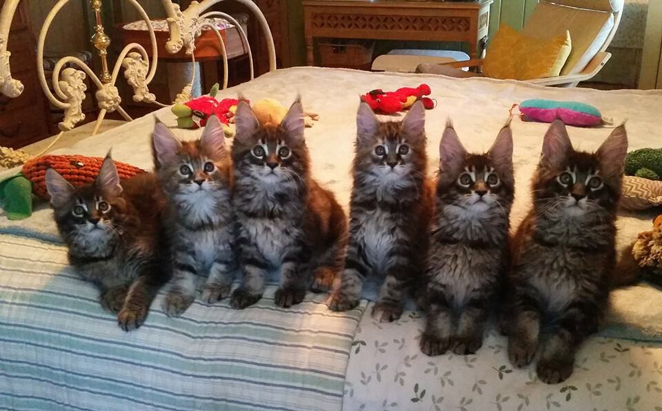 Maine Coon lifespan: kittens