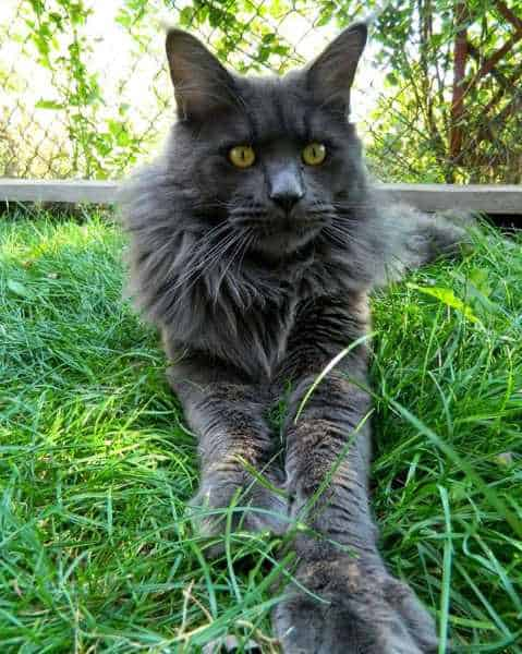 A solid Grey Maine Coon relaxing outside on a lawn.