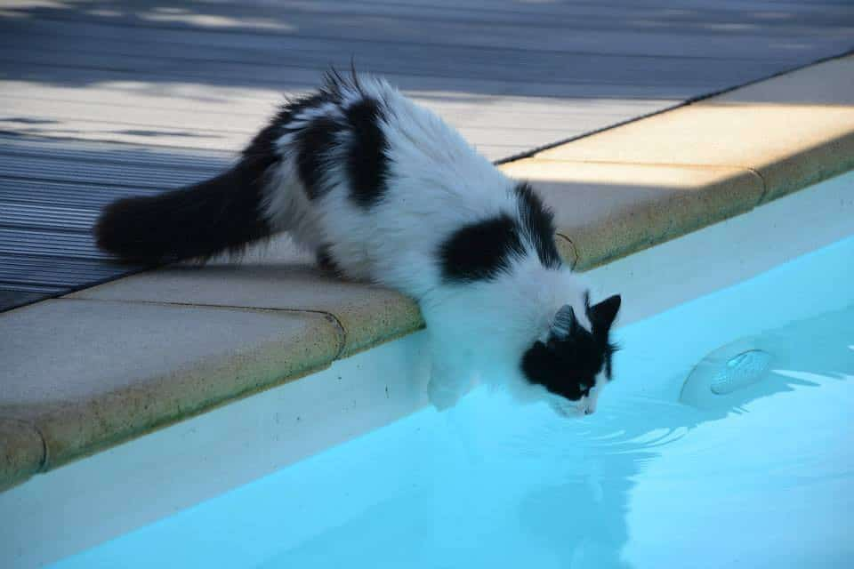 Do Maine Coons like water? Cat drinking from swimming pool