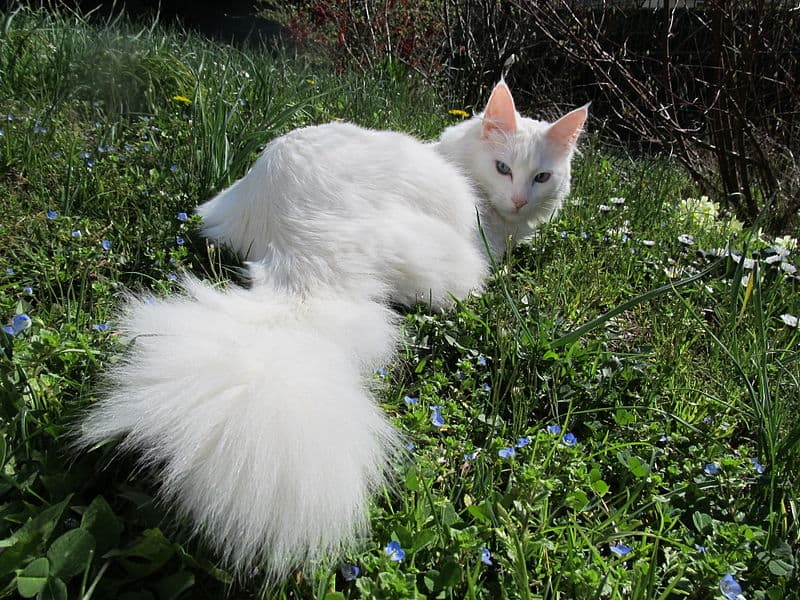 Are Maine Coons rare? a Turkish Angora
