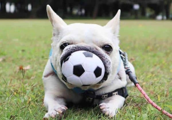 Things To Know Before Buying a French Bulldog: French Bulldog with ball