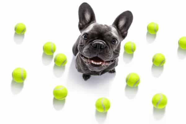 How To Buy a French Bulldog: Frenchie with tennis balls