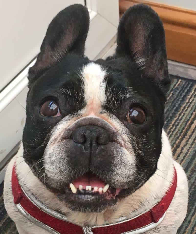 How To Buy a French Bulldog? Face closeup
