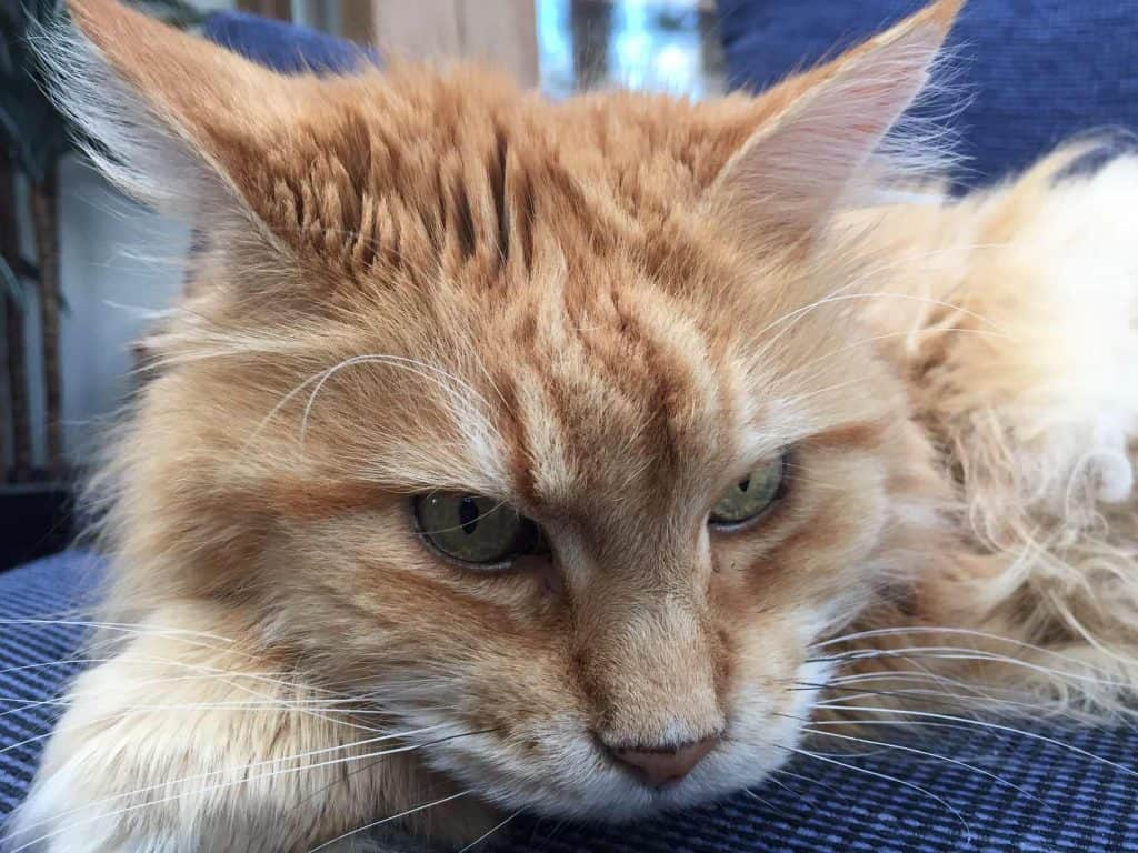 Can Maine Coon cats be left alone