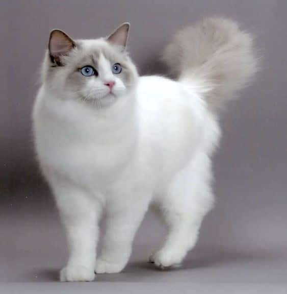 Ragdoll cat standing