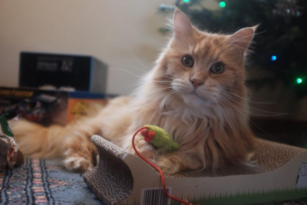 Are Maine Coon Cats Territorial?
