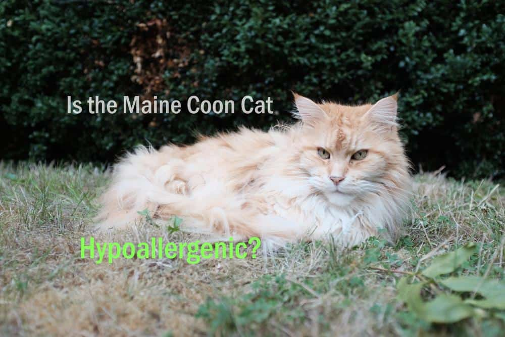 Is the Maine Coon hypoallergenic?
