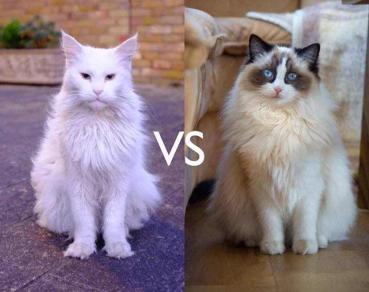 Maine Coon vs Ragdoll