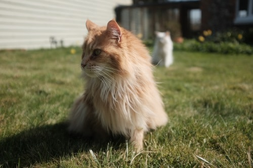 Are Maine Coon cats hypoallergenic