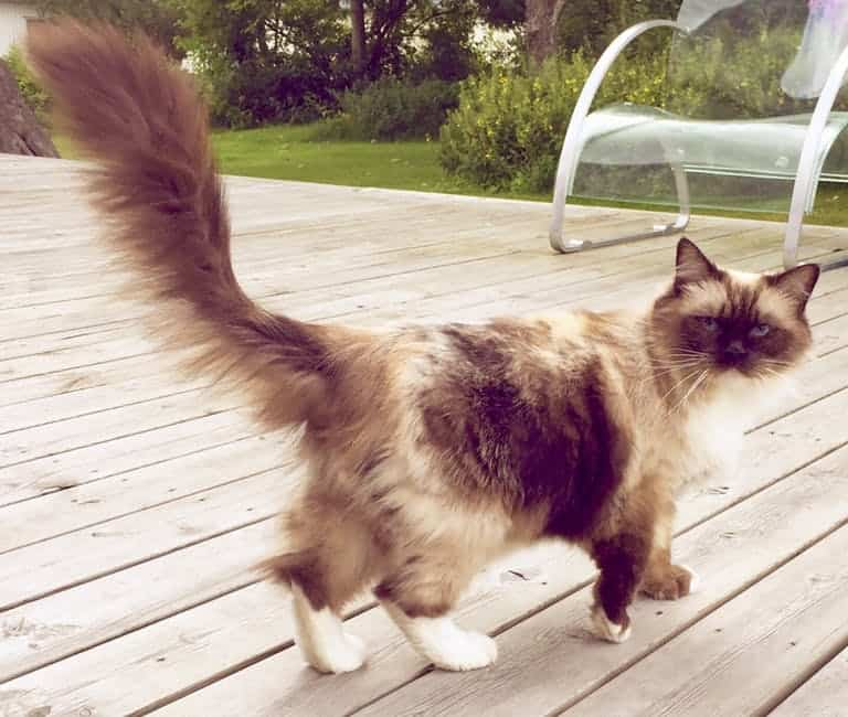 Can Ragdoll cats go outside? Cat on deck