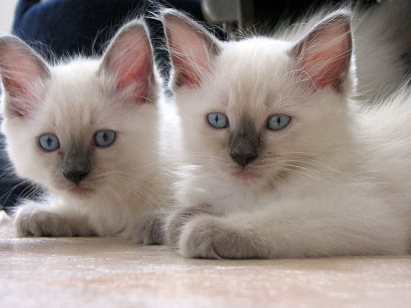 Maine Coon, Ragdoll or Maine Coon Ragdoll Mix  Which is best