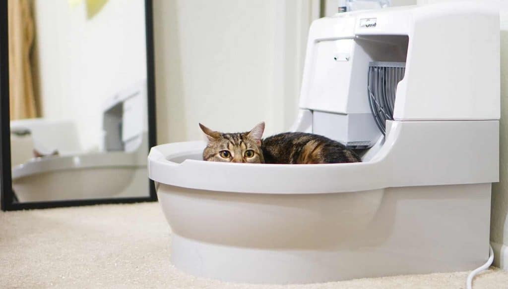 Do Maine Coon Cats Use A Litter Box Petskb