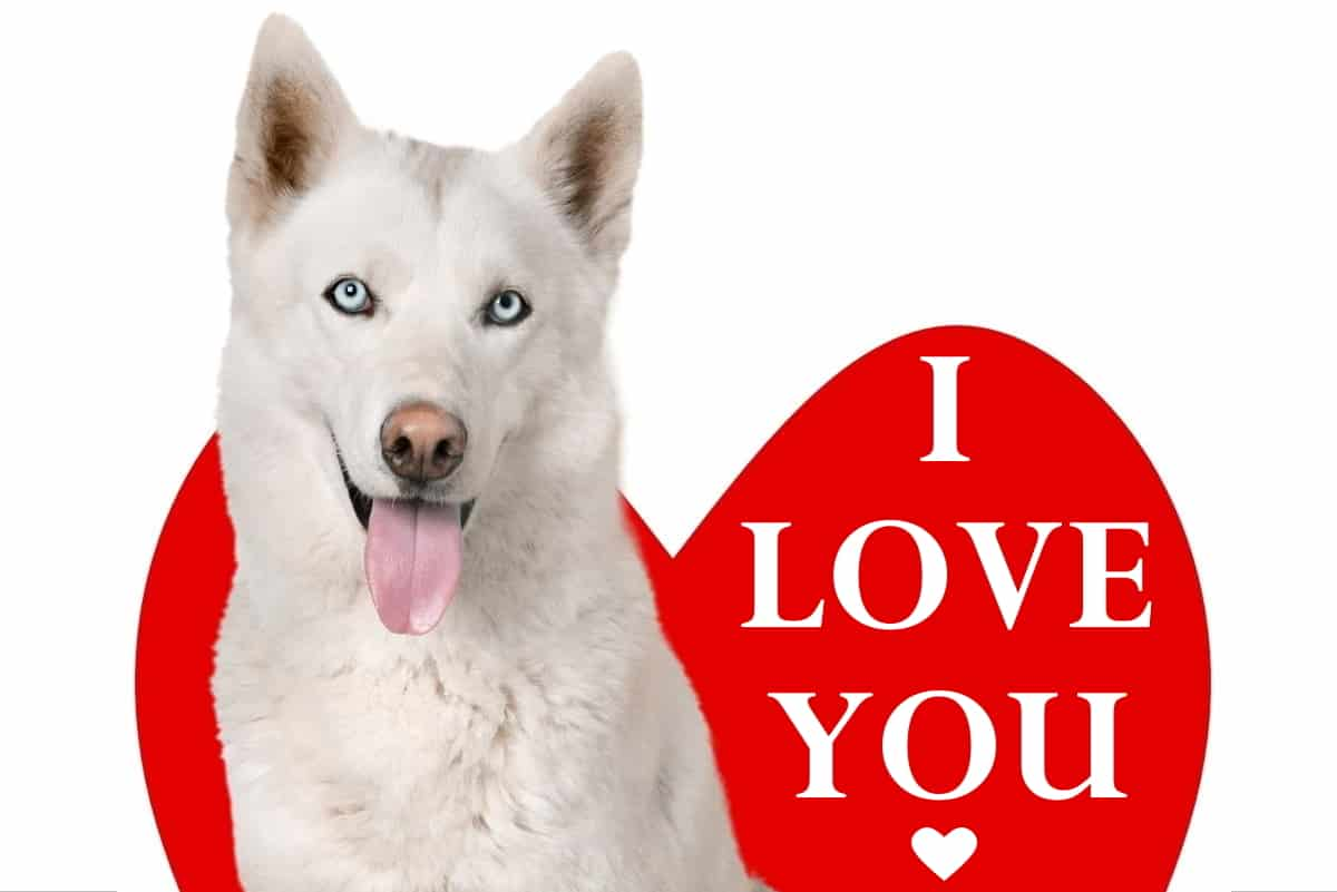 12 Ways to Tell That Your Siberian Husky Loves You • The Pets KB