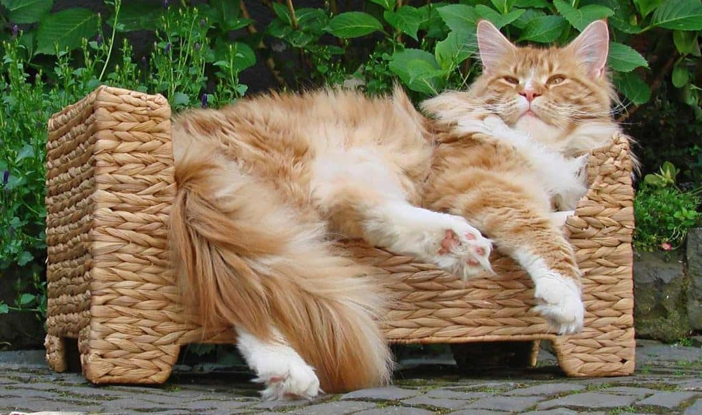 The red Maine Coon
